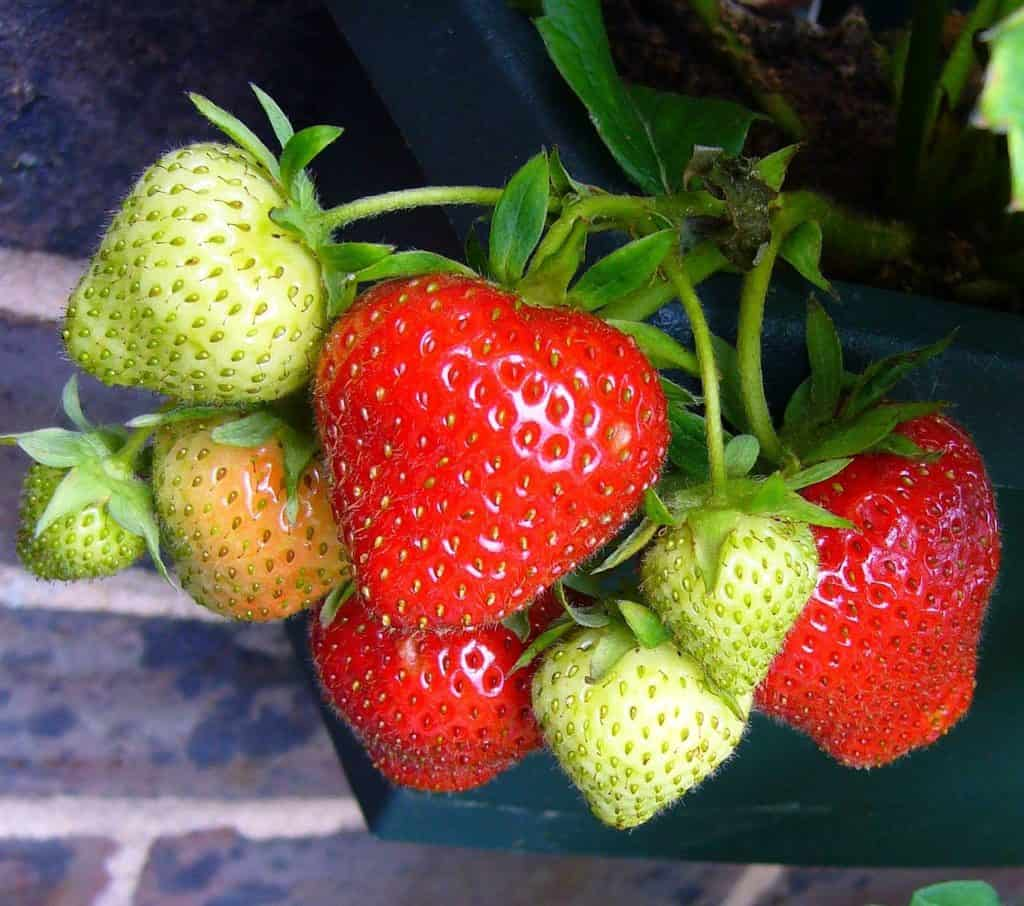 how to grow strawberries and raspberries