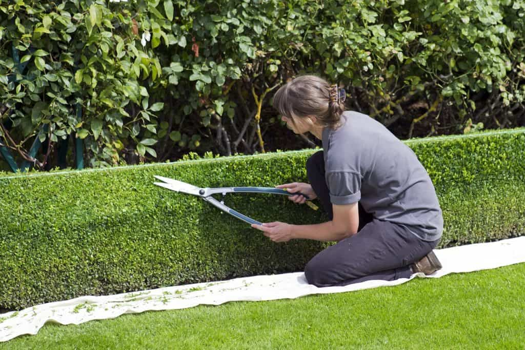 trimming hedge with garden shears