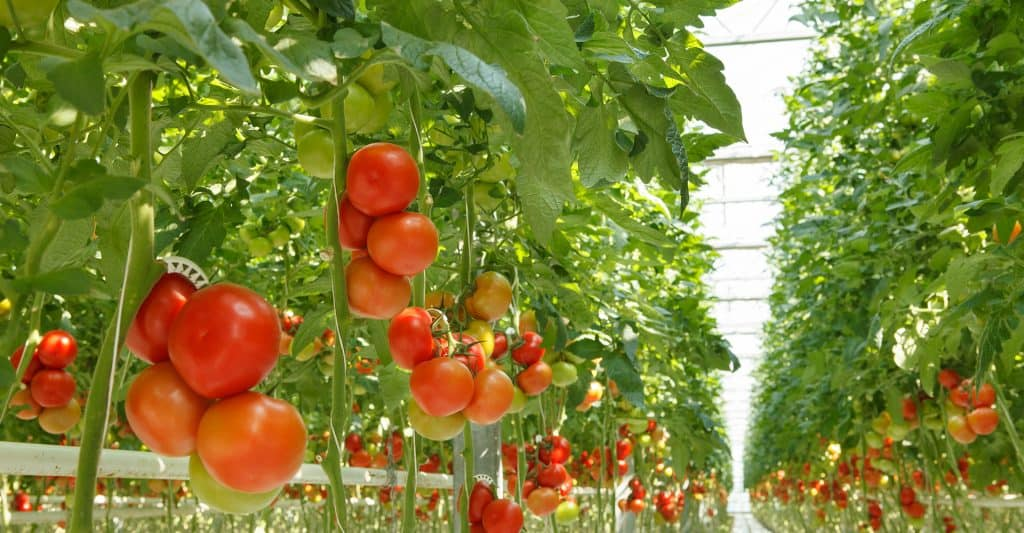 hydroponic-tomatoes