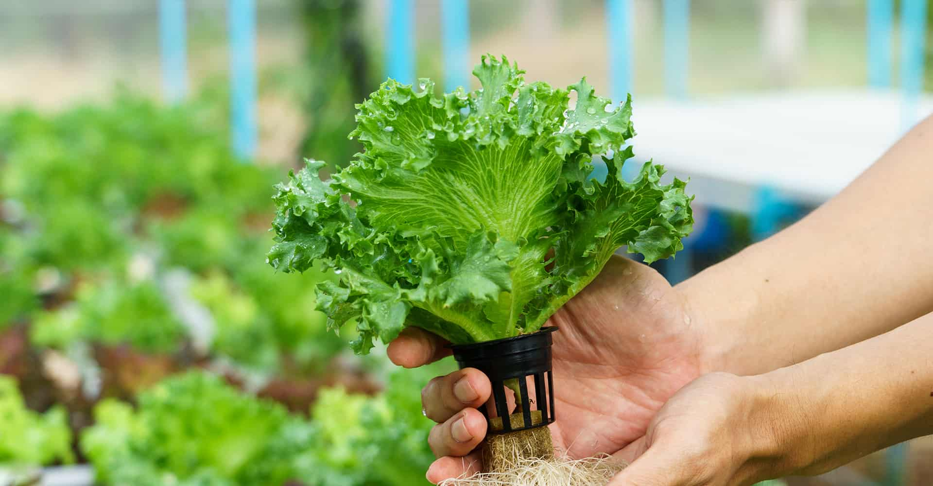 hydroponics-growing