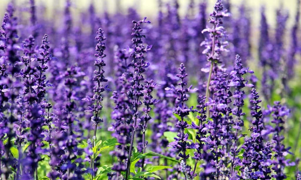 lavender sleep enhancing plant