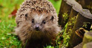 hedgehog-guide