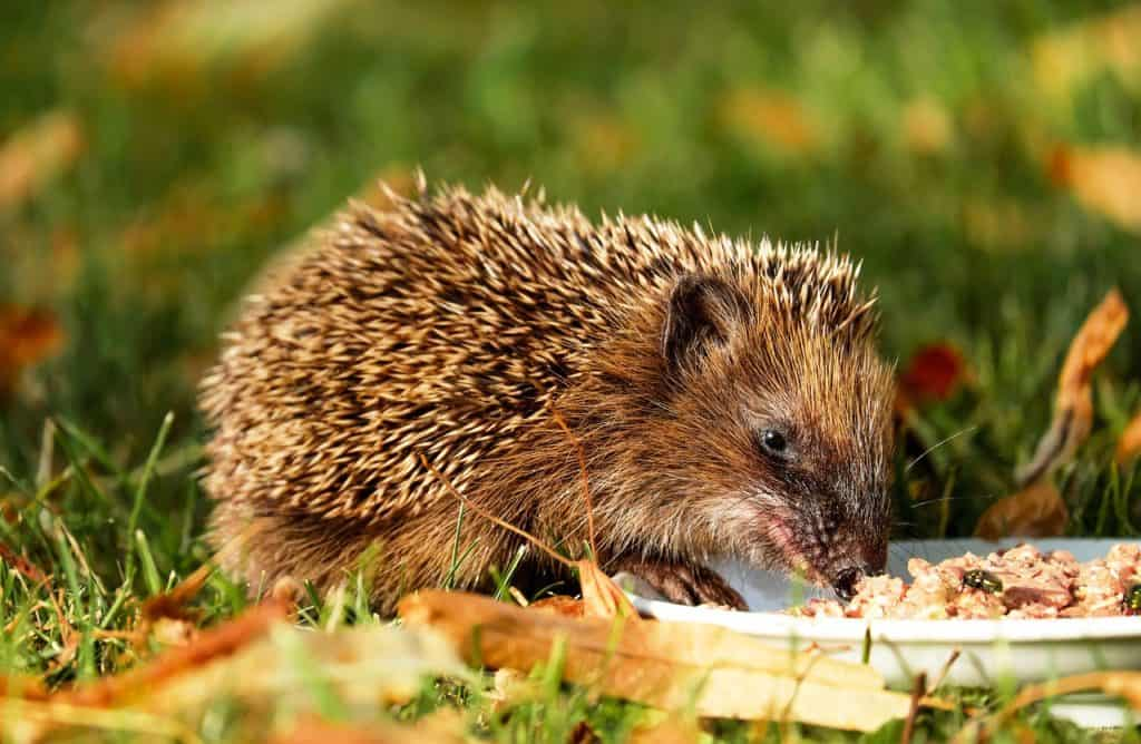 780ab21a4b1de Hedgehogs! | Ultimate Guide to Looking After Hedgehogs | DIY Garden
