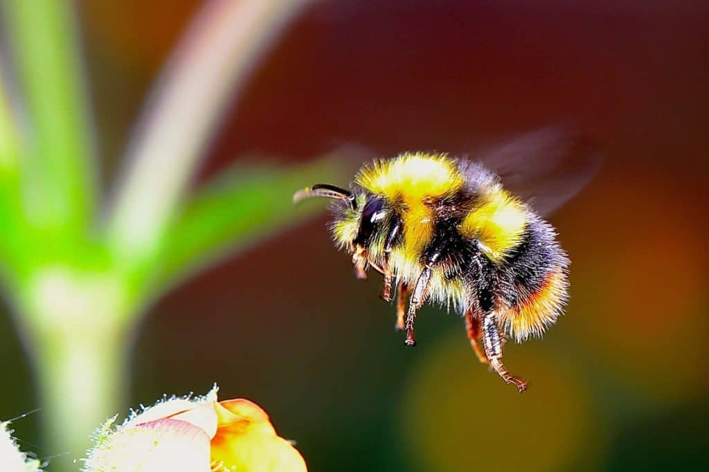 british bumble bee