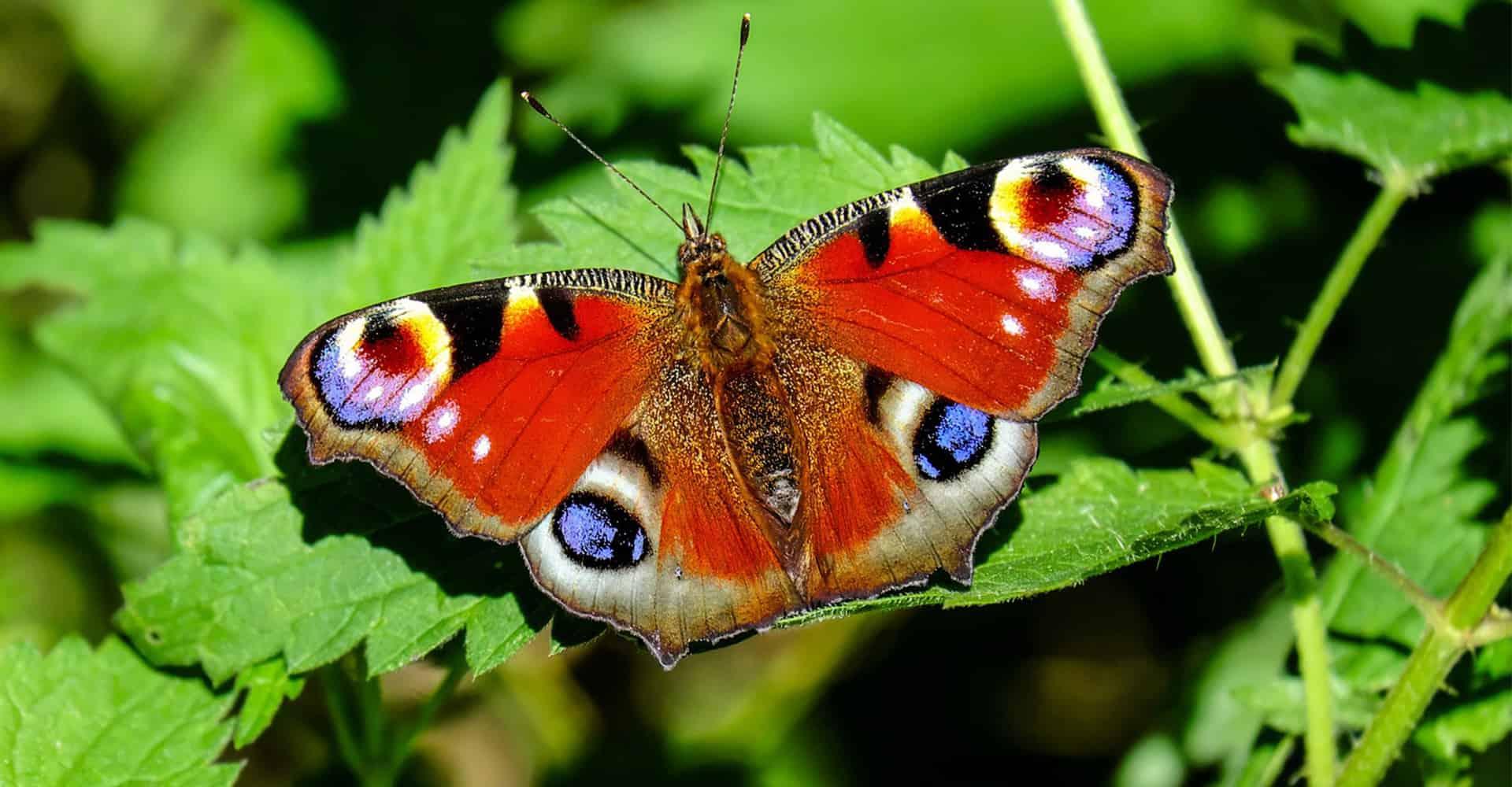 butterfly-guide