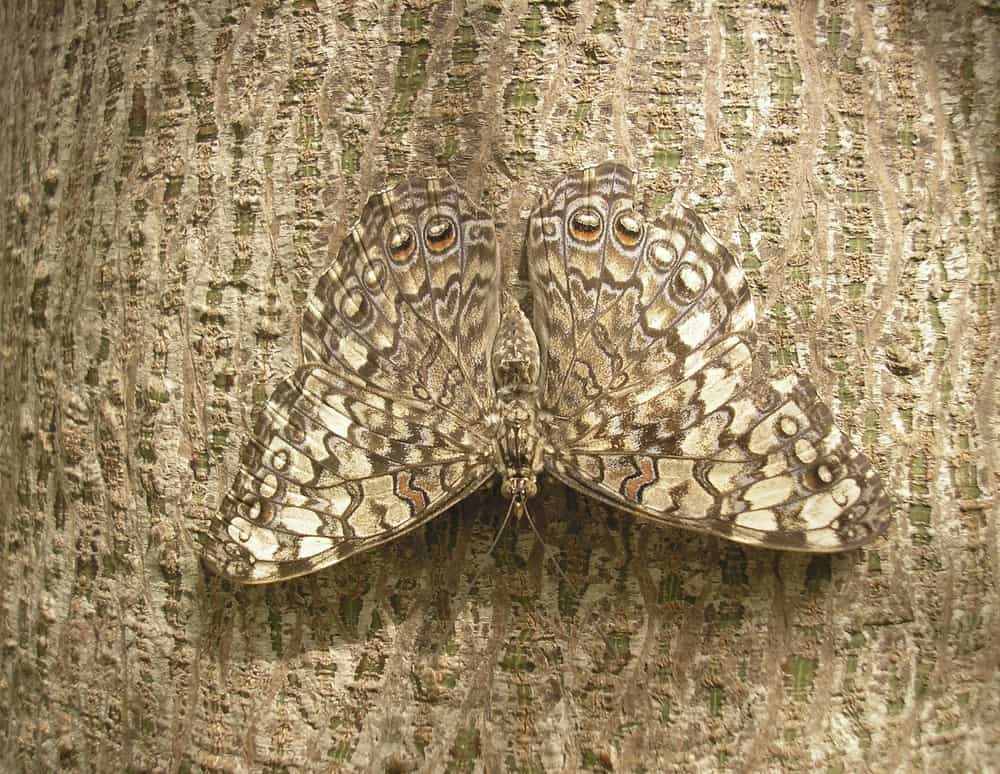 camouflaged butterfly