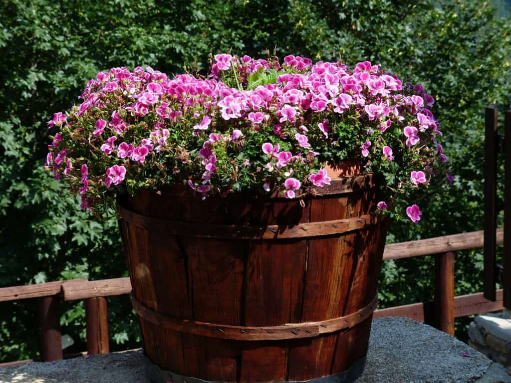 geranium care