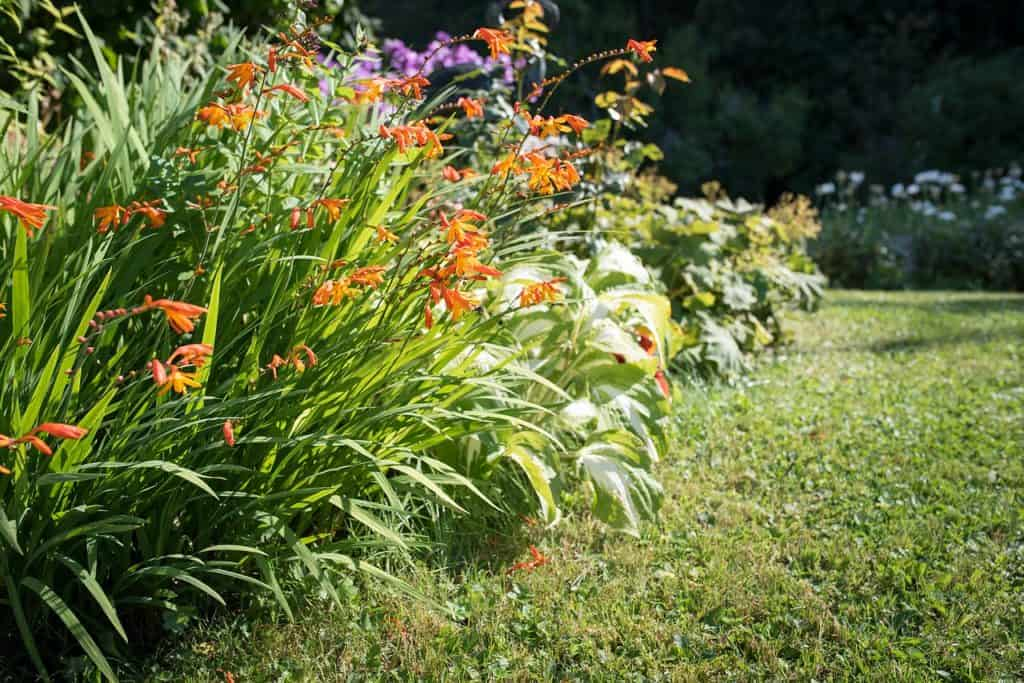 crocosmia care