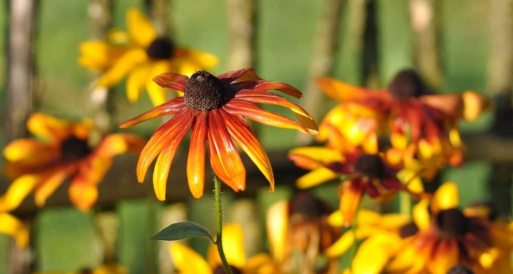 rudbeckia-brilliant