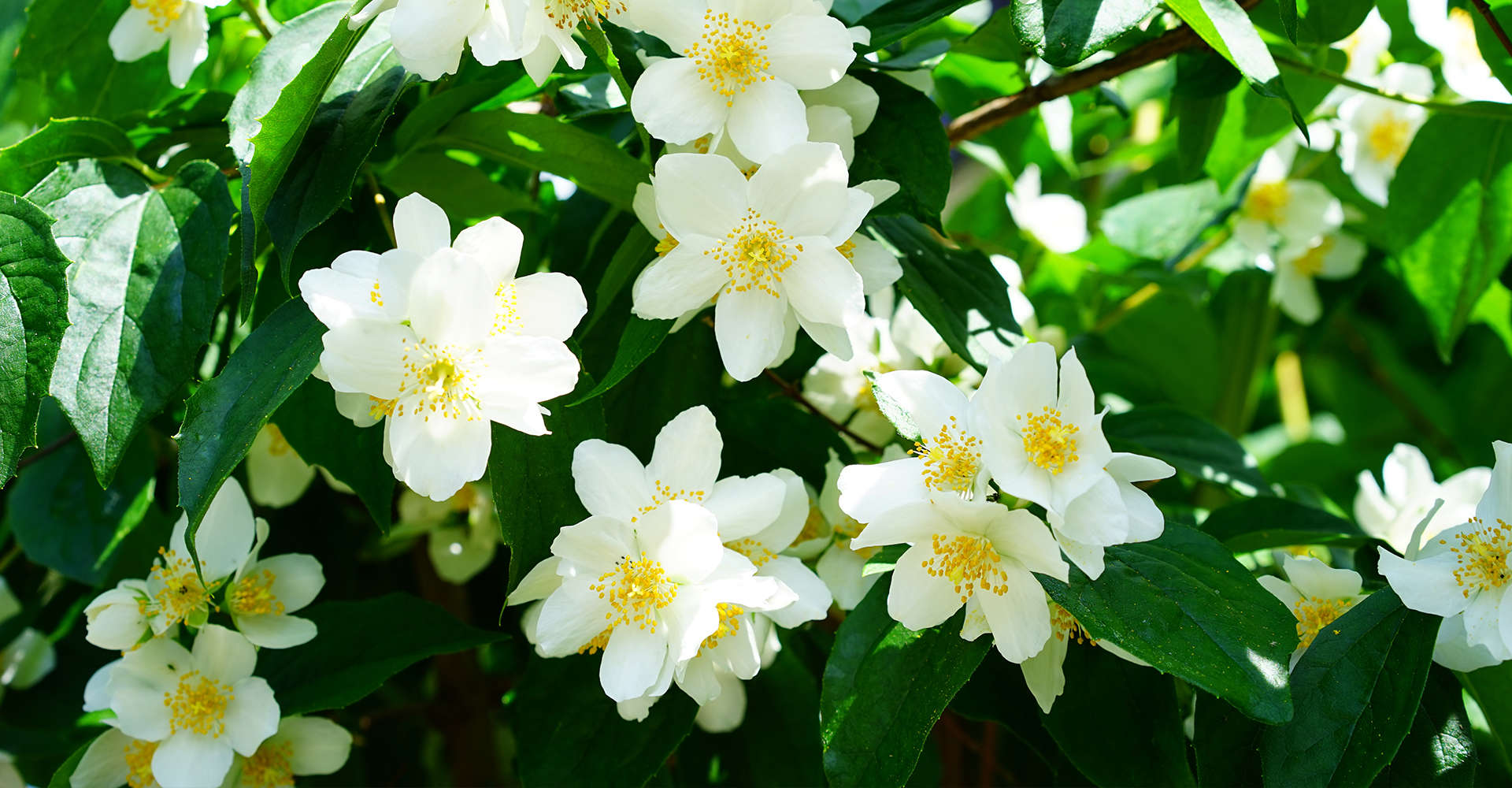 Mock-Orange-Jasmin