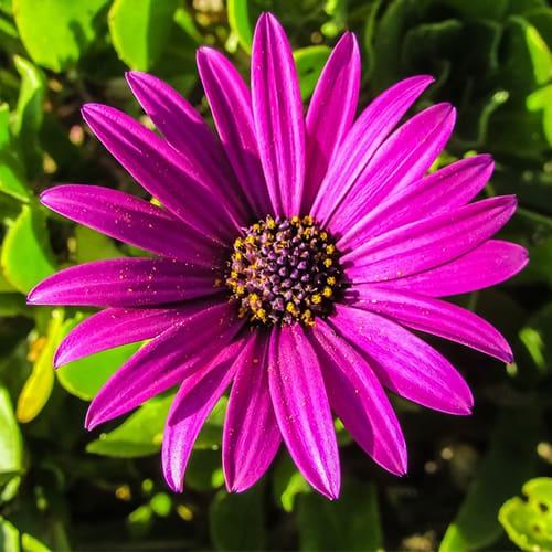 Osteospermum Care Guide How To Grow Cape Daisy Diy Garden