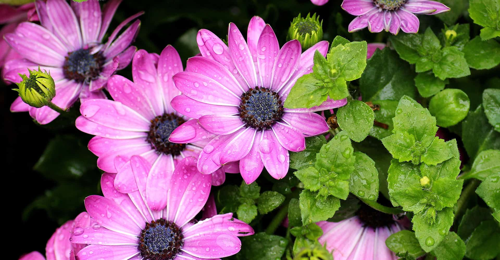 Osteospermum Care Guide How To Grow Cape Daisy Diy Garden