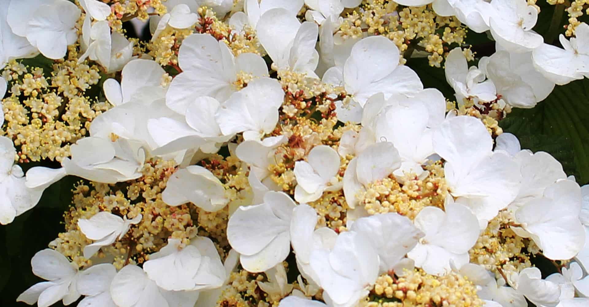Climbing Hydrangea Care Guide How To Grow Climbing Hydrangeas