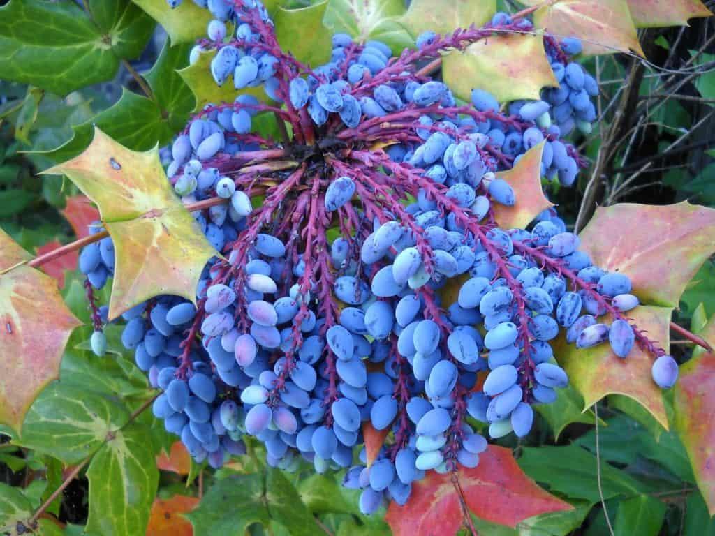 mahonia-berries