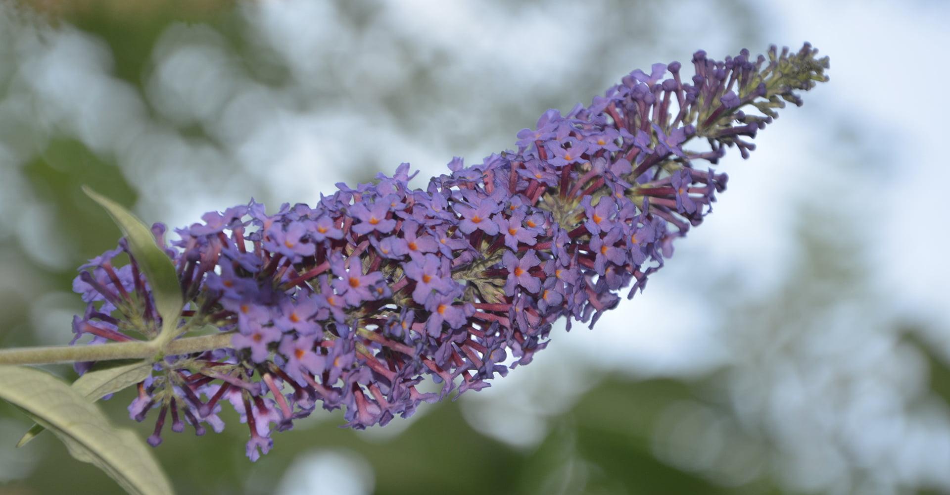 Buddleia Care Guide How To Grow Butterfly Bush Diy Garden