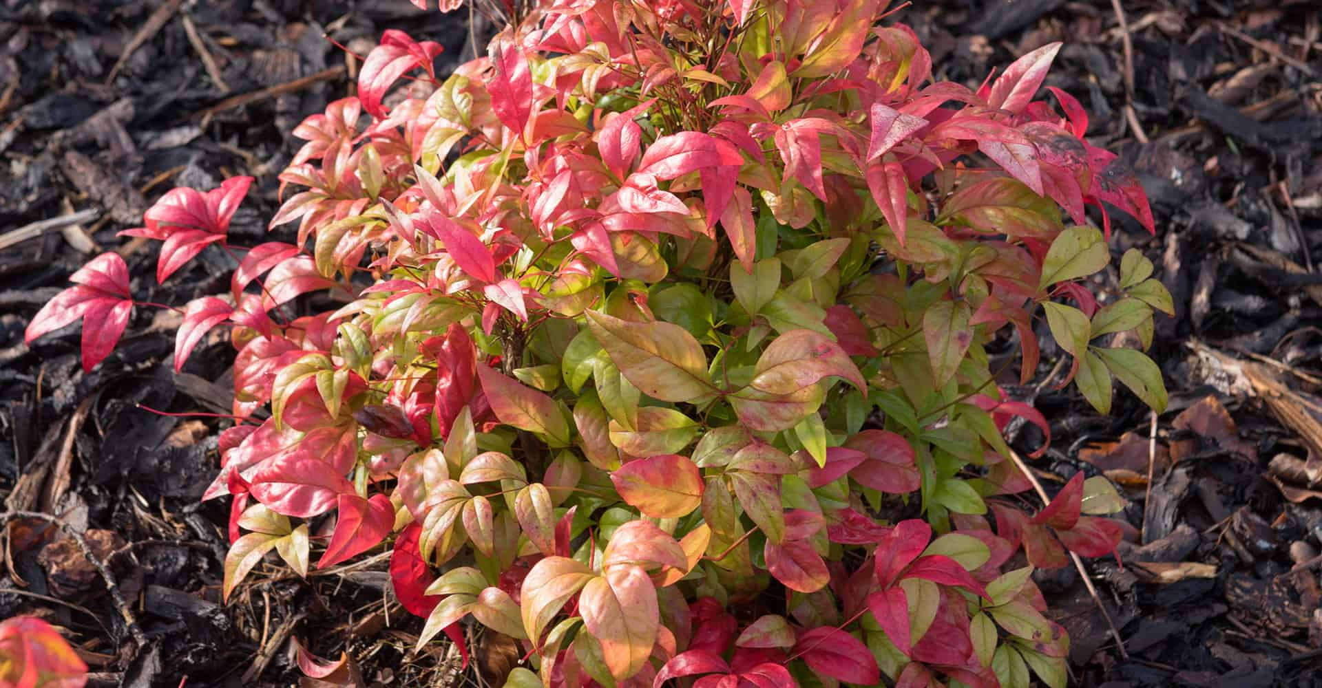Nandina Domestica Care Guide How To Grow Heavenly Bamboo