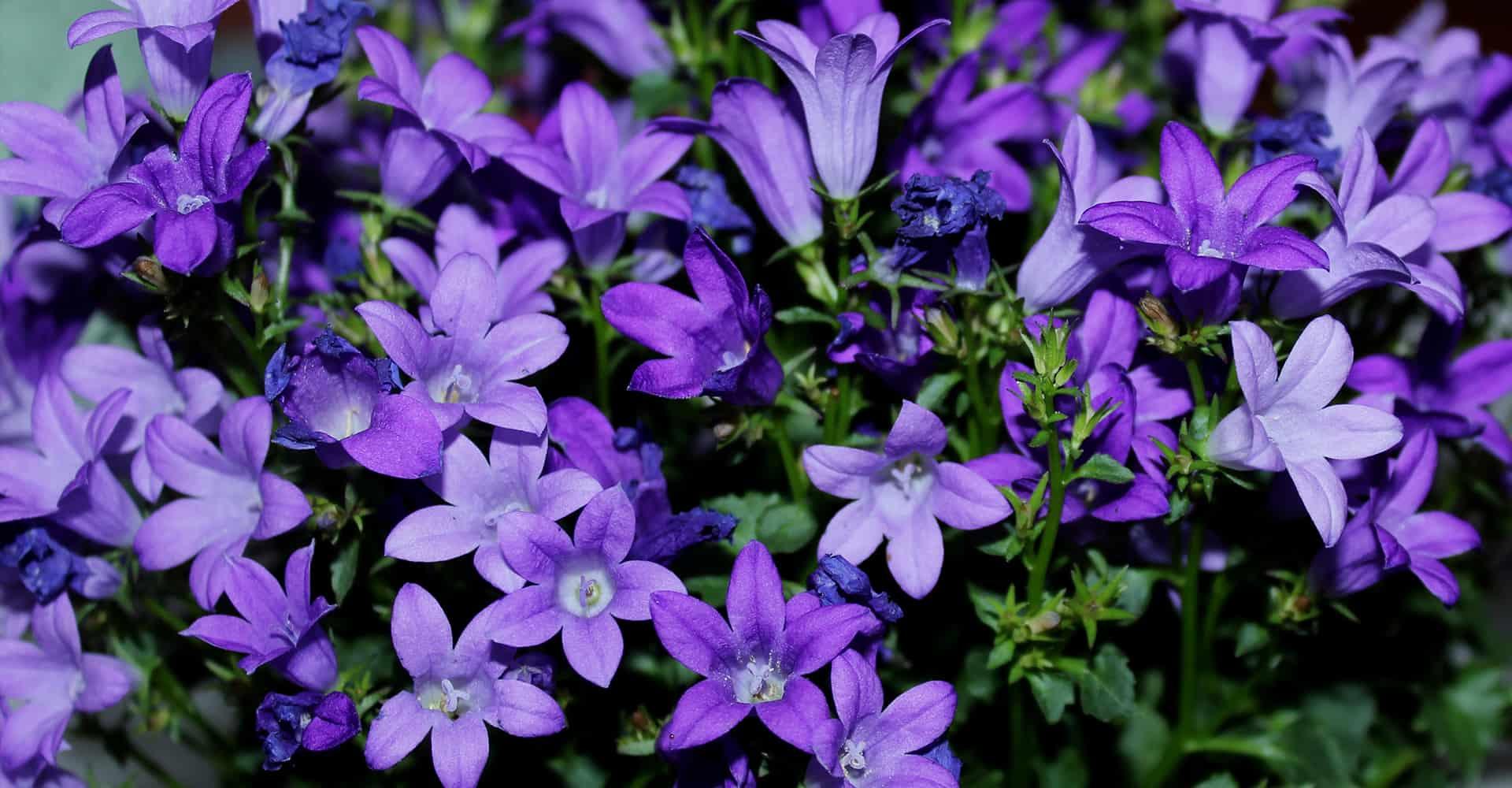 Hardy Perennial 6 Campanula 'Pyramidalis Mixed' Medium Plug Plants