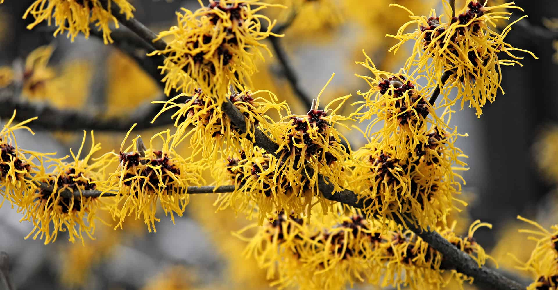 Witch Hazel Care Guide How To Grow Hamamelis Diy Garden