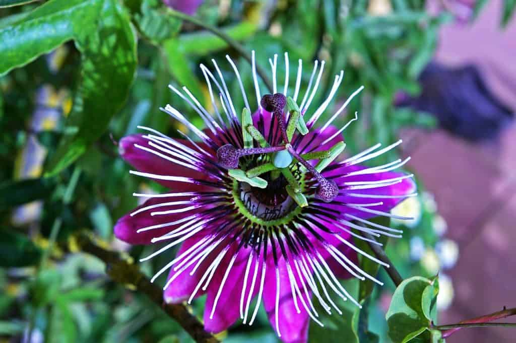 Passion Flower Care Guide How To Grow Passion Flowers Diy Garden