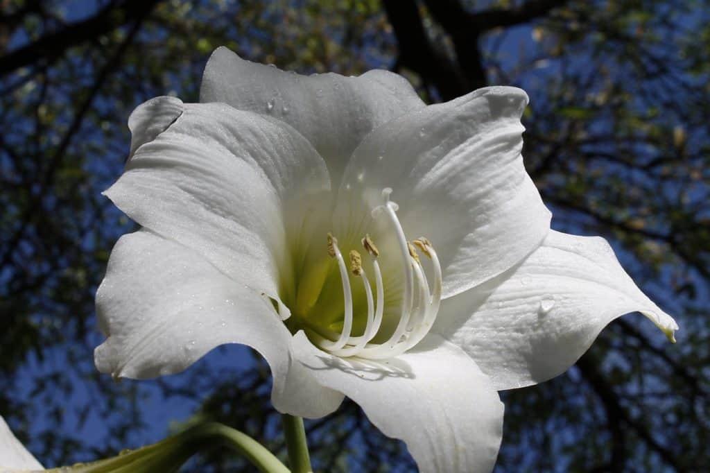 white-amaryllis