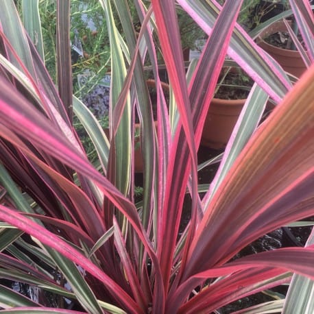 Cordyline Care Guide How To Grow Cordyline Diy Garden