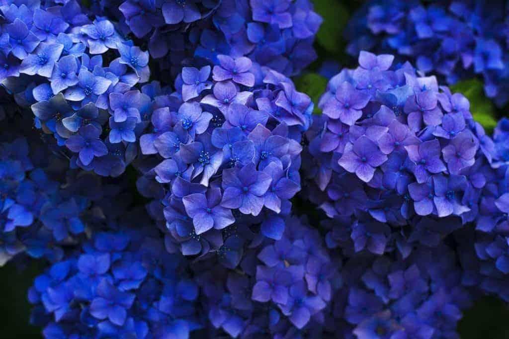 blue-hydrangea