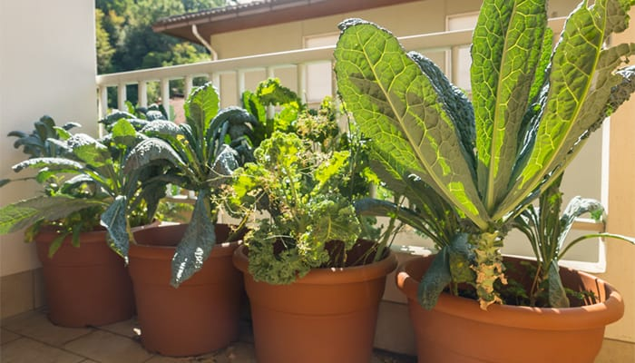 how-to-grow-kale-in-a-container