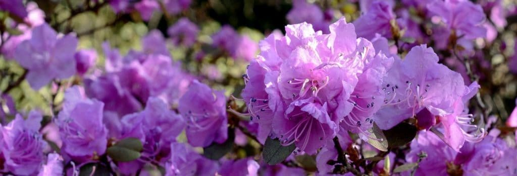 rhododendron-1024x350