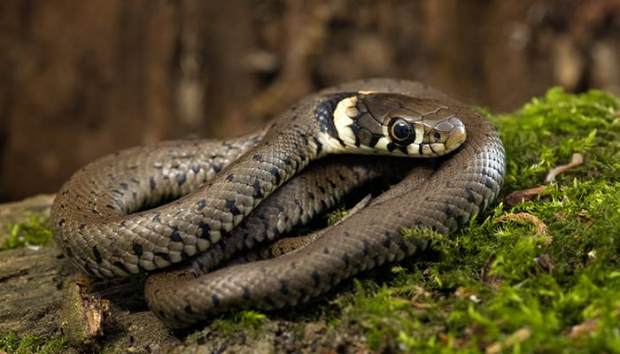 baby-grass-snake