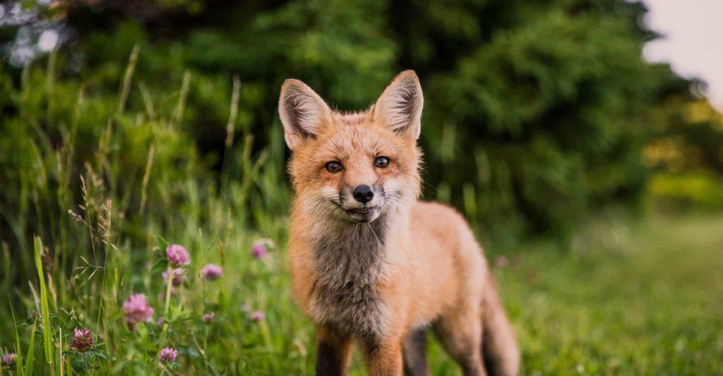 fox-deterrent