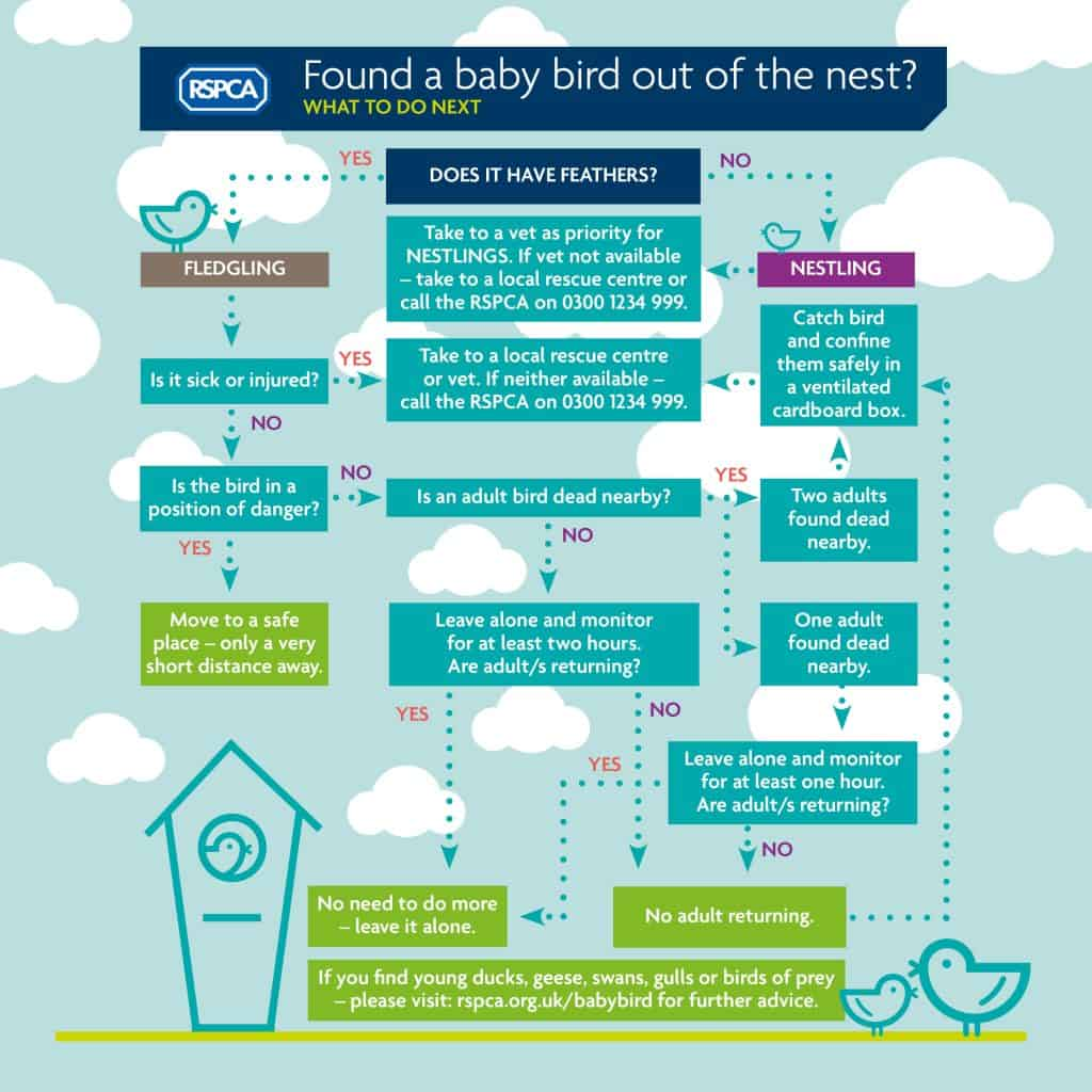 Baby_bird_infographic rspca