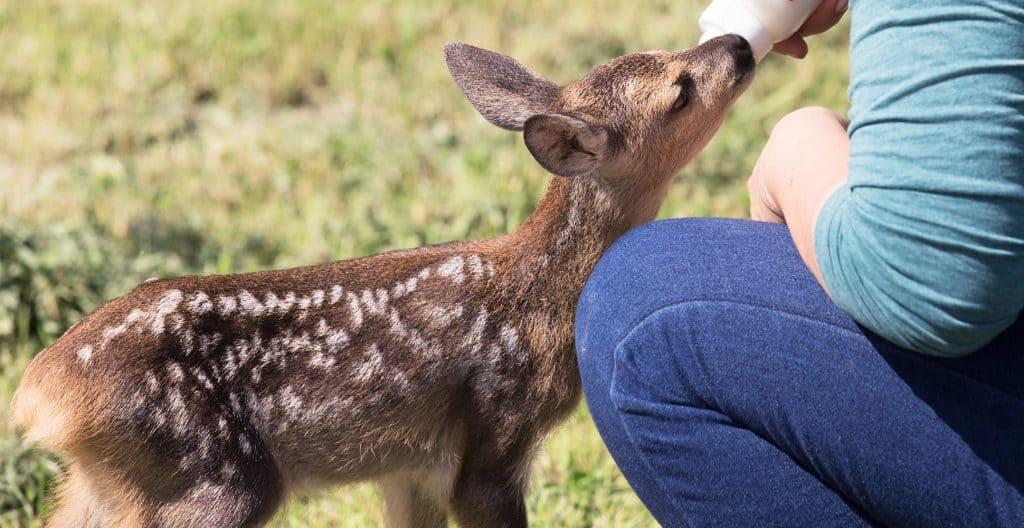baby-deer-rescue