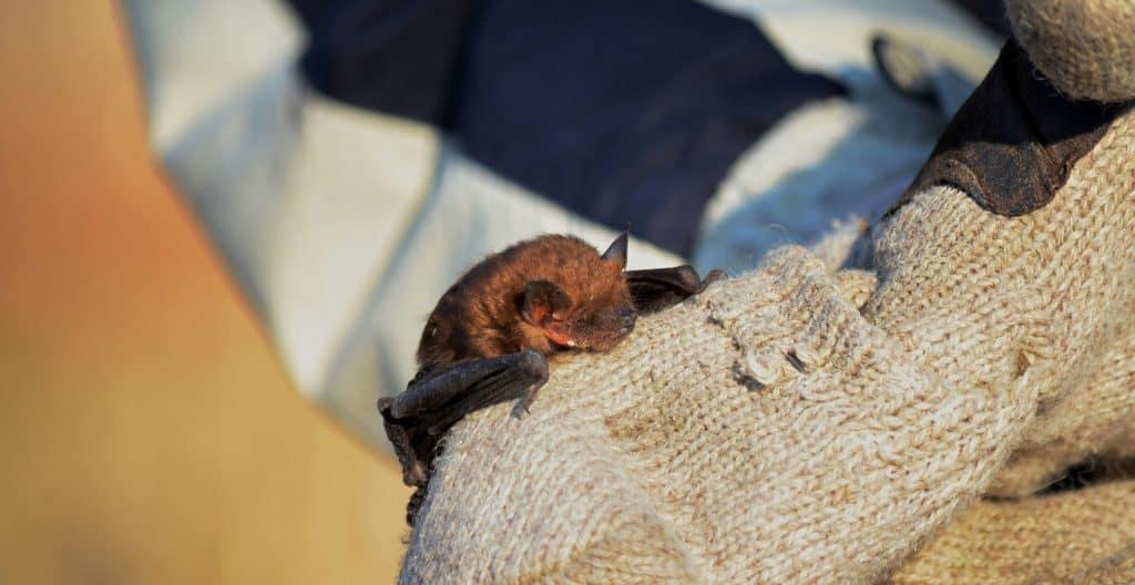bat-rescue