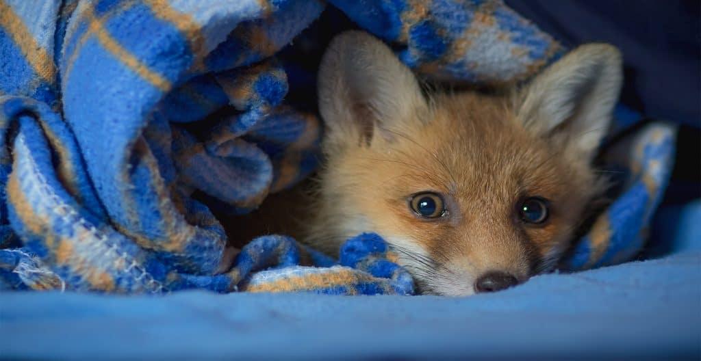 fox-rescue