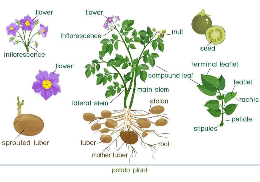 potato-plant-anatomy