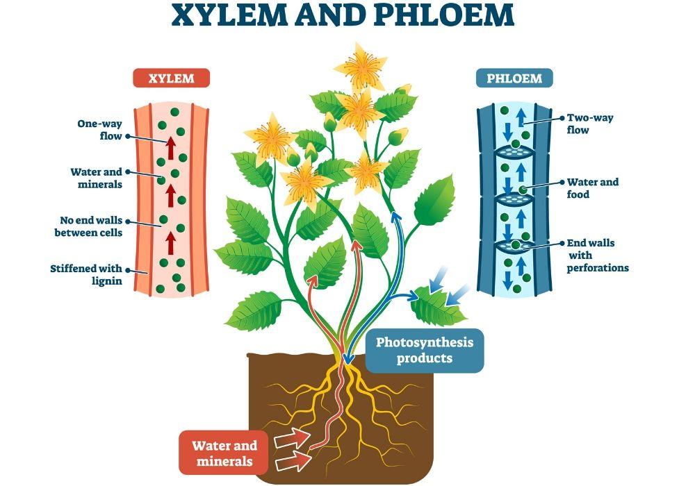 xylem-phloem-plant-anatomy