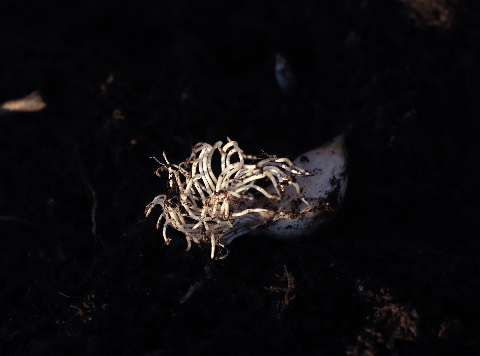 Garlic clove with long roots