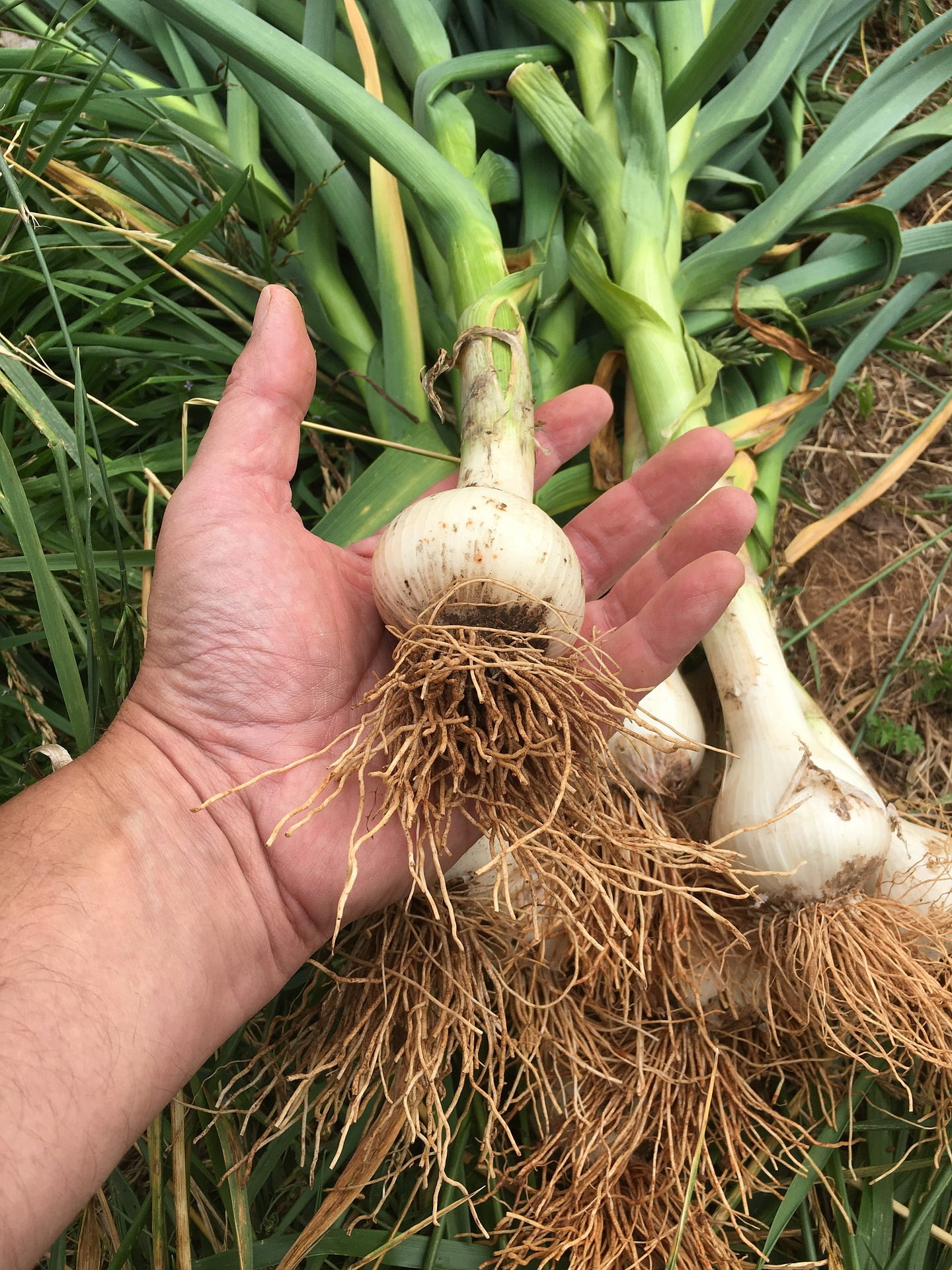 Hand holding harvested garlic bulb
