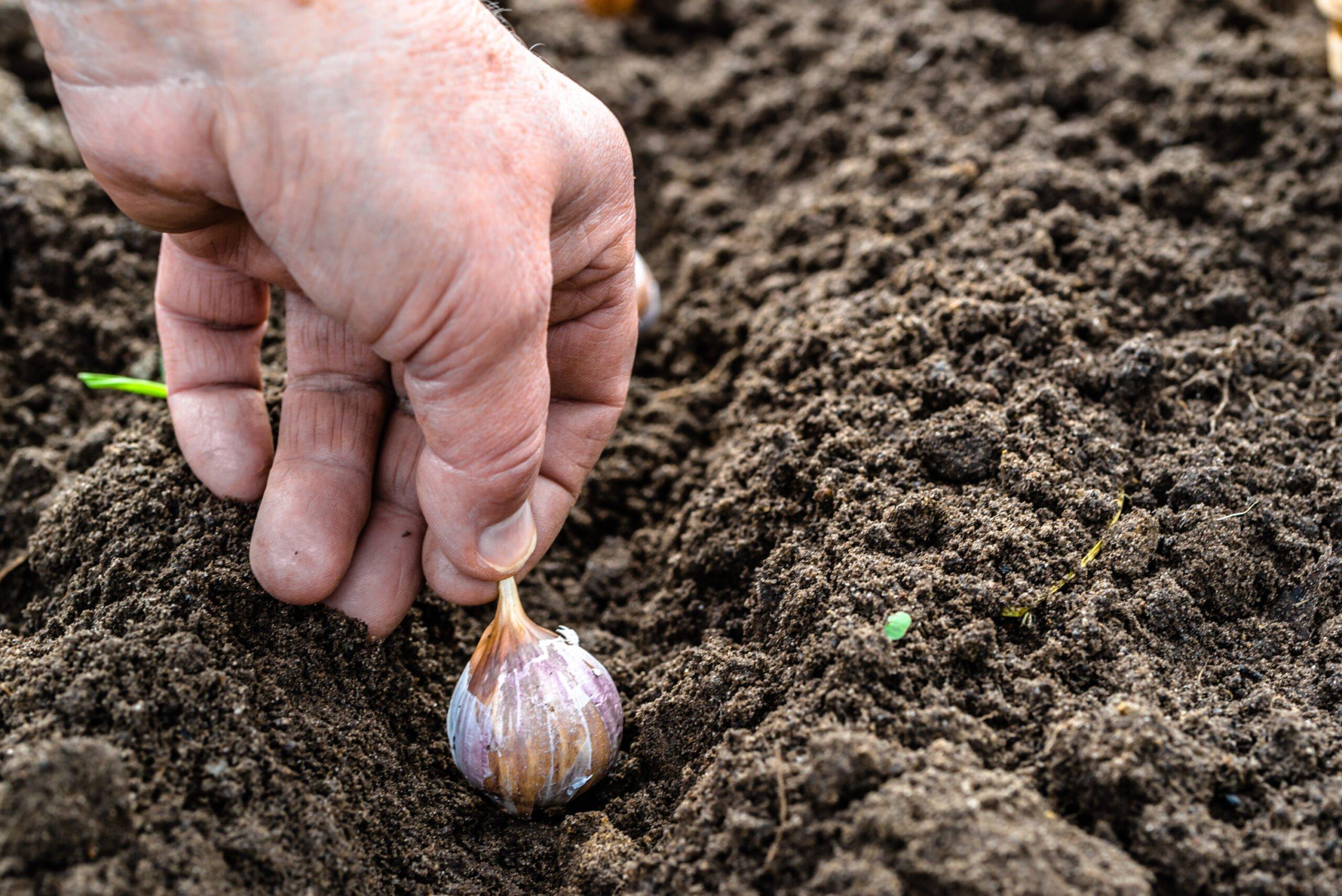 Hand planting garlic cloves