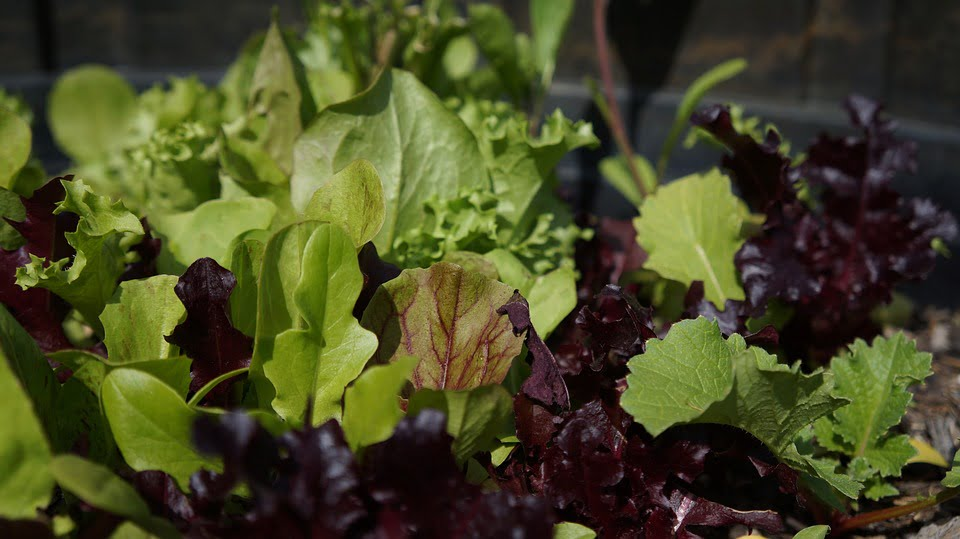 grow-fresh-salad-winter