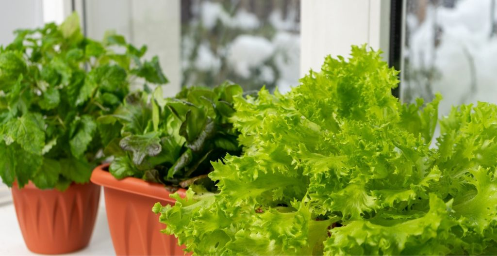 growing-fresh-salads-through-the-winter