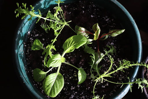 salad-seedlings