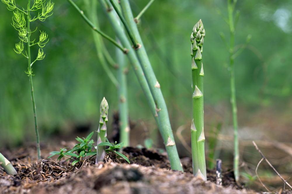 Asparagus growing