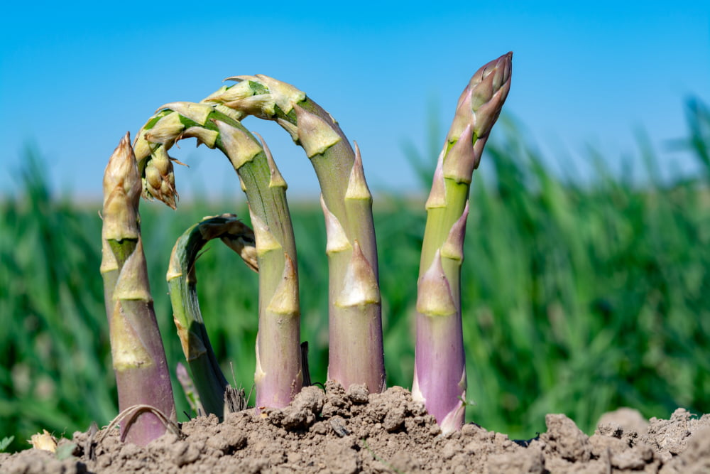 Asparagus spears growing