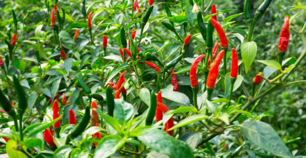 Chillies growing on plant