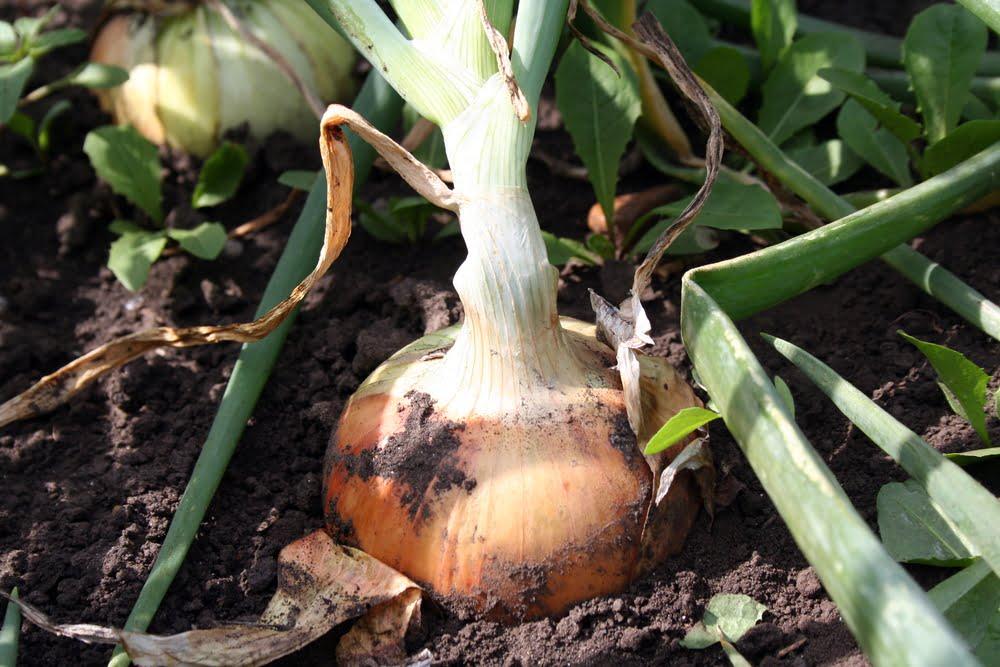 Onion growing in garden