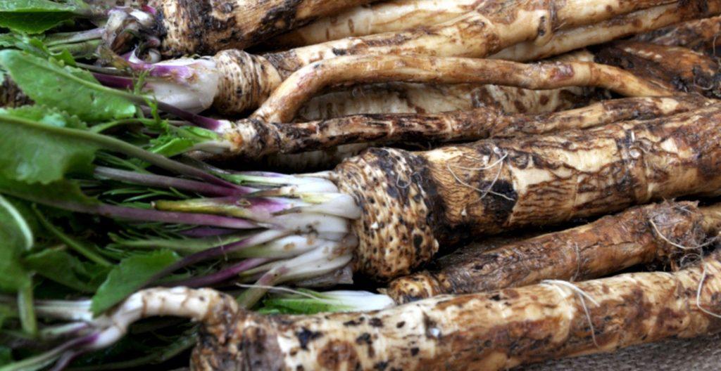 Horseradish roots