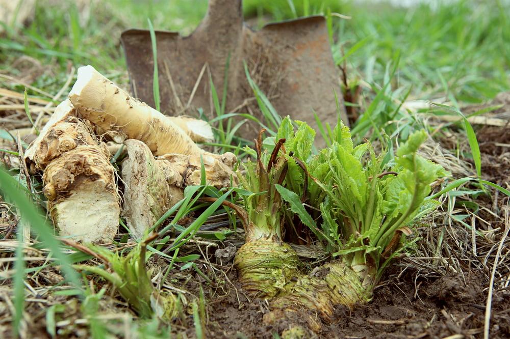 Digging up horseradish