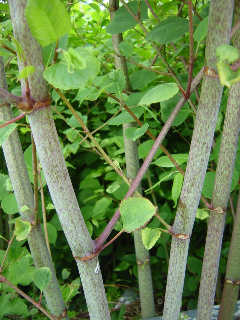 Japanese knotweed canes