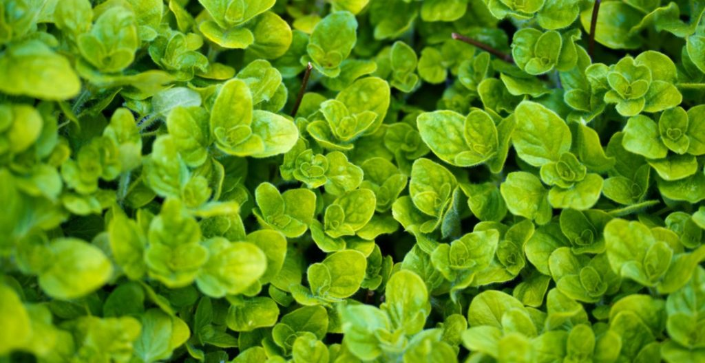 Oregano leaves on plant